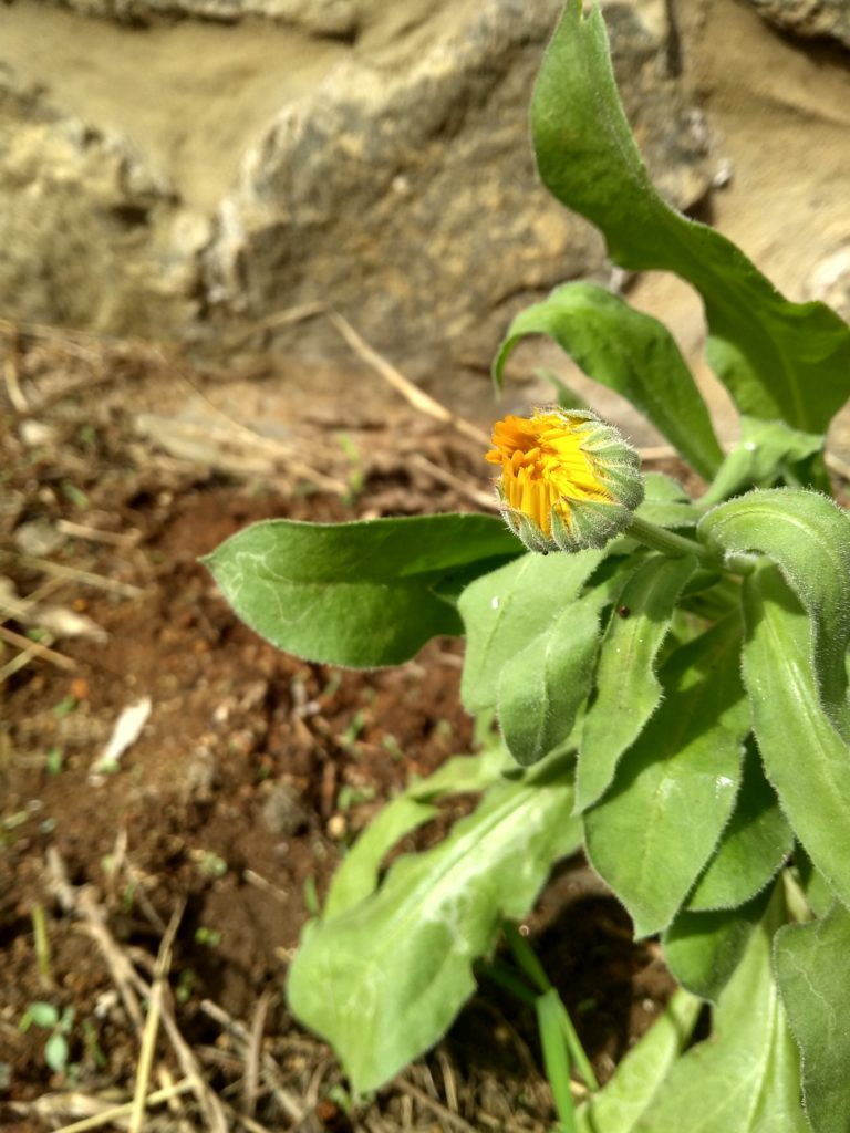 A Calendula bud, close to harvest.